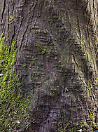 Western Red Cedar (Thuja plicata) tree trunk is rippled from stress.
