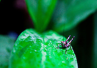Grasshopper sitting on a leaf in the jungle.