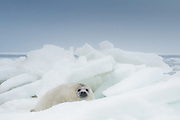 Young grey seal (Halichoerus grypus) cub between the ice bloks in Gulf of Riga, Latvia Ⓒ Davis Ulands | davisulands.com