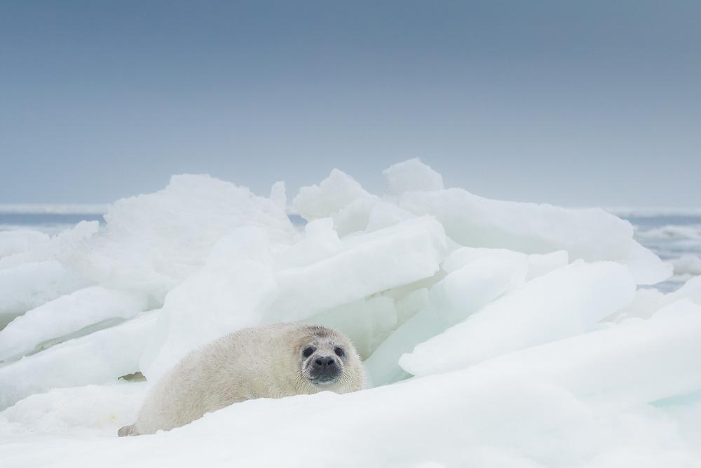 Young grey seal (Halichoerus grypus) cub between the ice bloks in Gulf of Riga, Latvia Ⓒ Davis Ulands | davisulands.com