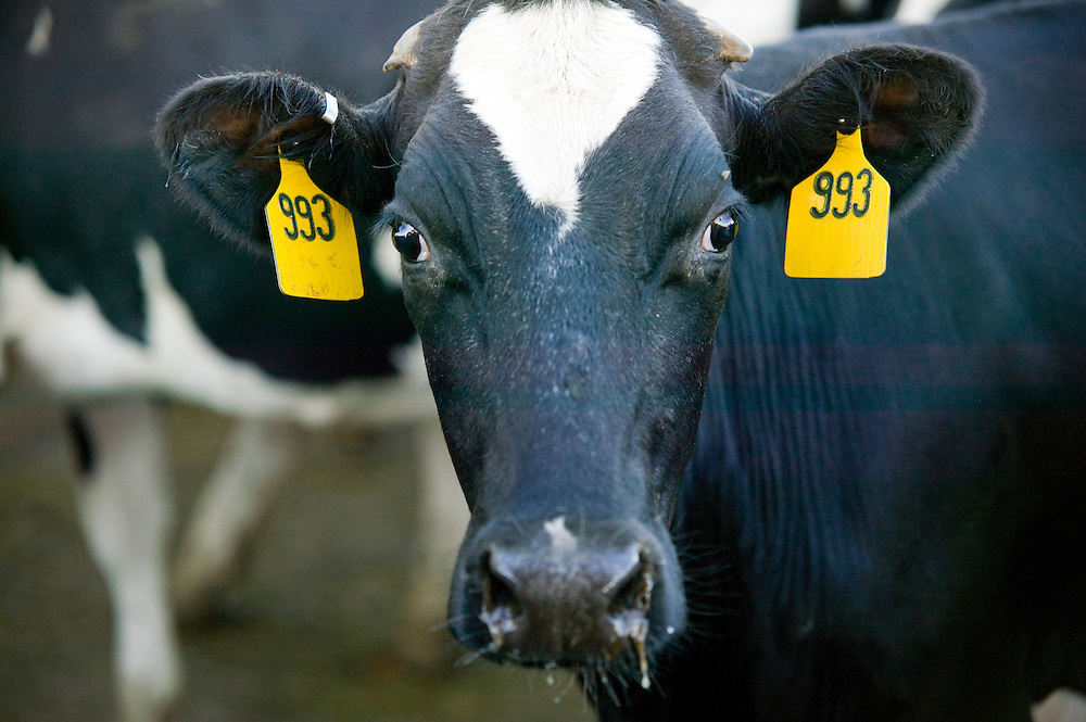Cow with Tags