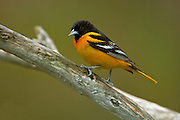 Baltimore oriole Icterus galbula on branch in Carolinian forest<br /> Rondeau Provincial Park<br /> Ontario<br /> Canada