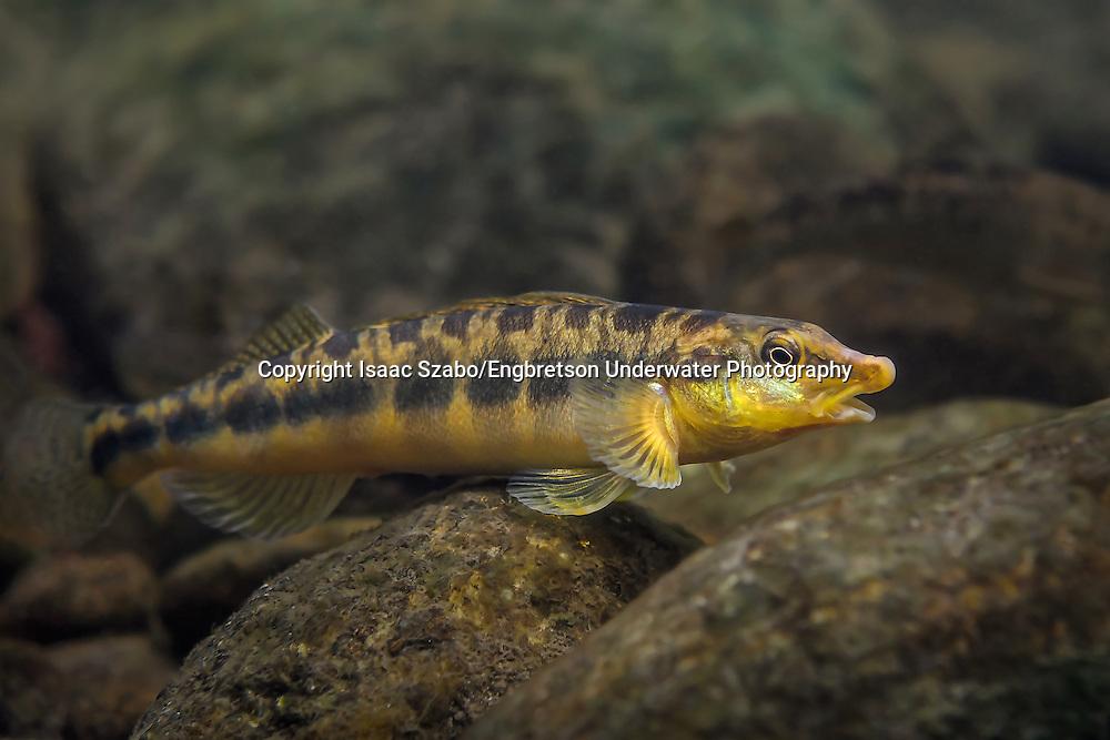 Blotchside Logperch<br /> <br /> Isaac Szabo/Engbretson Underwater Photography