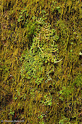 The mosses and lichens compete for limited space on the massive hemlock trunk.  I wonder what determines which species wins to fight for this space.  Is it first come or does one out compete the others.