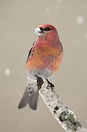 Pine Grosbeak - Pinicola enucleator - male