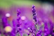 Purple Echium vulgare (Viper's Bugloss or Blueweed) Photographed in Armenia