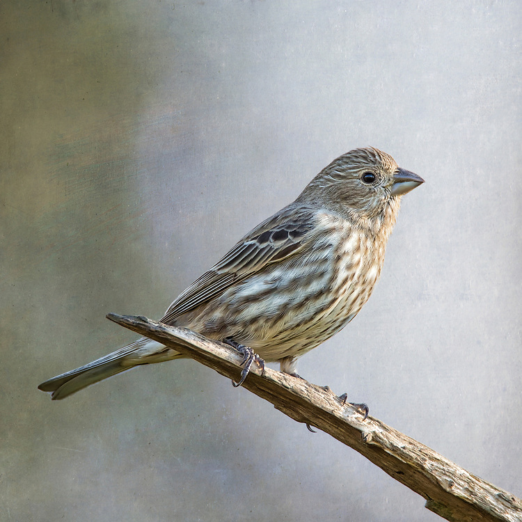 A Female House Finch Strikes A Pose