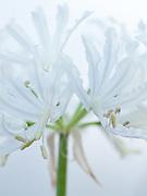 Nerine flexuosa alba