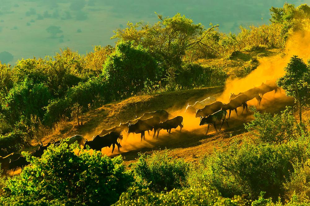 Maasai tribesmen herding their cattle down a steep hill through the dust, Ngorongoro Crater, Ngorongoro Conservation Area, Tanzania