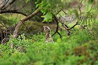 Capercaillie ( Tetrao urogallus ), Bog forest, Latvia