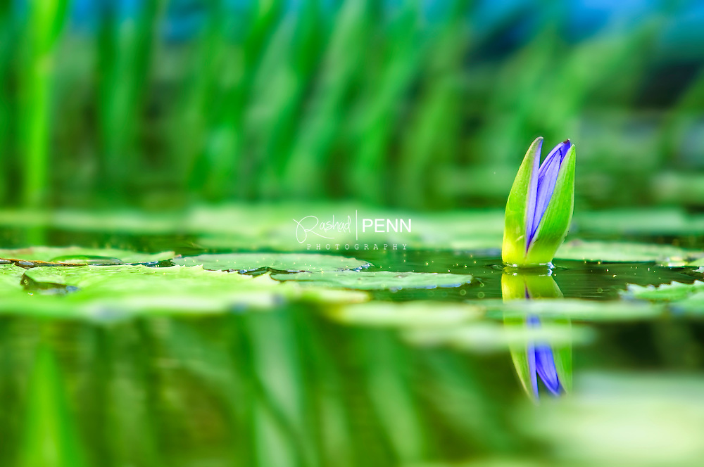 Lilly flowers emerging from a pond of lilly pads and tadbpoles