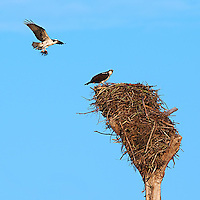 Pair of Osprey Building a Nest at Fort Desoto Park in Florida. Image taken with a Nikon D3x and 500 mm f/4 VR lens (ISO 100, 500 mm, f/8, 1/250 sec).