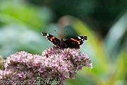 Red Admiral butterfly on Sedum - September