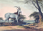 The Tackhaitse. hand colored plate from the collection of  ' African scenery and animals ' by Daniell, Samuel, 1775-1811 and Daniell, William, 1769-1837 published 1804
