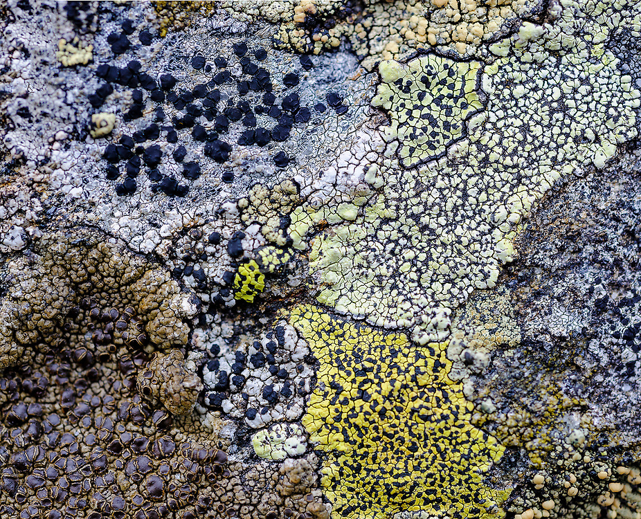Crustoce licehens growing on rocks at 900 meters elevation at kanben (Agder, norway). We have common map lichen (Rhizocarpon geographicum) and Protoparmelia badia as well one unidentified species (upper left).