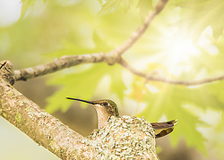 A hummingbird nesting in the tree canopy catching some rays