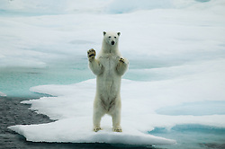 Polar bear (Ursus maritimus) waving to the photographer in Hinlopen, Svalbard