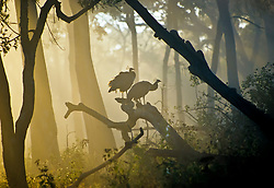 The National bird of India, the peafowl Pavo cristatus, gathers up the first rays of sunlight on a cool winter morning in Bandipur National Park. This image, to me, captures the essence of an Indian jungle at dawn.<br /> <br /> BIO: BAFTA award winning film-maker and National Geographic Fellow, Sandesh Kadur, creates documentary films that have aired worldwide on prominent networks such as National Geographic, the BBC, Netflix, Discovery Channel, and Animal Planet.<br /> <br /> Sandesh is the producer of a 3-part docuseries for National Geographic titled 'Wild Cats of India' & 'India's Wild Leopards'. He is also the co-author of two books, Sahyadris: India's Western Ghats – A Vanishing Heritage (2005) and Himalaya – Mountains of Life (2013).<br /> <br /> WEBSITE: sandeshkadur.com<br /> INSTAGRAM: @sandesh_kadur