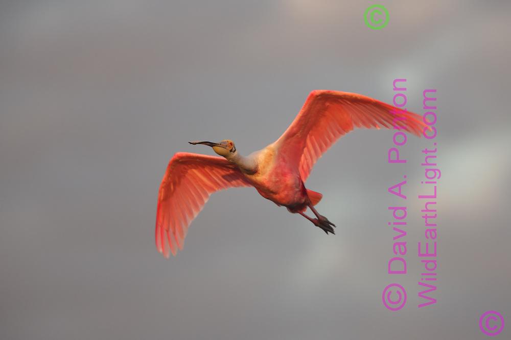 Roseate spoonbill in flight, © David A. Ponton