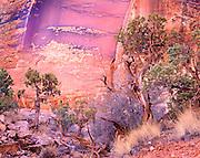 Luminous Reflected Light on Weathered Pinyon Juniper Trees and Varnished Redrock Wall, Canyonlands National Park, Utah