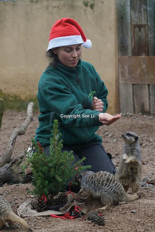 Meerkats enjoy Christmas treats at ZSL London Zoo on 15th December 2016,London,UK. Photo by See Li/Picture Capital