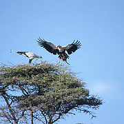 Secretarybird, (Sagittarius serpentarius) Pair building nest on top of acacia tree. Kenya. Africa.