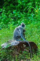 Black faced langur monkeys, near Dambulla, Central Province, Sri Lanka.