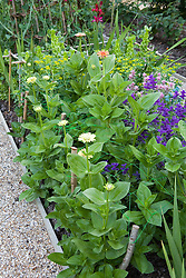 Zinnias in the cutting patch being supported with netting