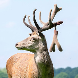 © Licensed to London News Pictures. 26/05/2016. Richmond, UK. Two deer fight in Richmond Park, today 26th May 2016. The fight resulted in one deer snapping its antler in two, which hung from the deer bleeding. Photo credit : Stephen Simpson/LNP