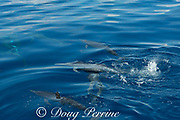 eastern spinner dolphins, Stenella longirostris orientalis, swimming just under the ocean's surface, offshore from southern Costa Rica, Central America ( Eastern Pacific Ocean ); dolphin at center with mouth slightly open has just splashed the water with its tail