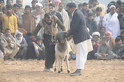 December 12, 2016 - Rawalpindi, punjab, Pakistan - Villagers watch sheep fighting each other to annual sheep fighting festival in. The people and farmers   round up their finest fighting sheep and gathered among friends to cheer on the creatures as they violently rammed into each other until their horns fell off. The 'ÄúSmall-Tail Han Sheep'Äù known for their head-butting abilities, battled it out in front of hundreds of onlookers who were able to distinguish the animals by their drawn-on marks. The sheep were then divided according to age and weight in the single-elimination match. (Credit Image: © Zubair Abbasi/Pacific Press via ZUMA Wire)