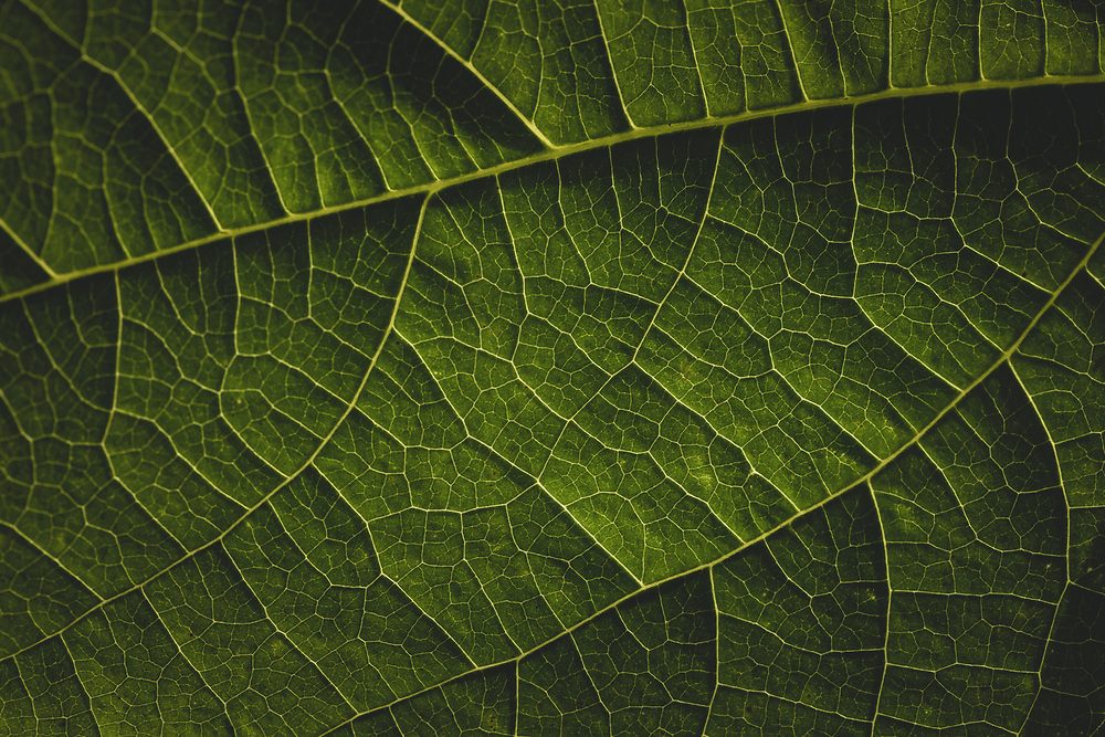 Close up of a bean leaf in the garden.