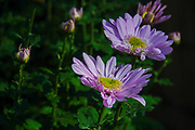 Purple African Daisy Photographed in Tokyo, Japan in November
