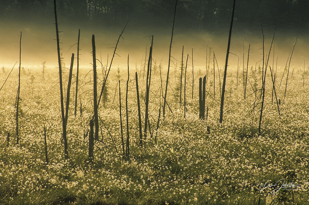 Cottongrass display and morning mists in large wetland with dead tree snags, Greater Sudbury, Ontario, Canada