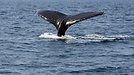 UNITED STATES-CAPE COD-Tail of a whale. PHOTO: GERRIT DE HEUS.VS-CAPE COD-PROVINCETOWN-De staarten van een walvis met kalf in de  Atlantische Oceaan.  PHOTO GERRIT DE HEUS