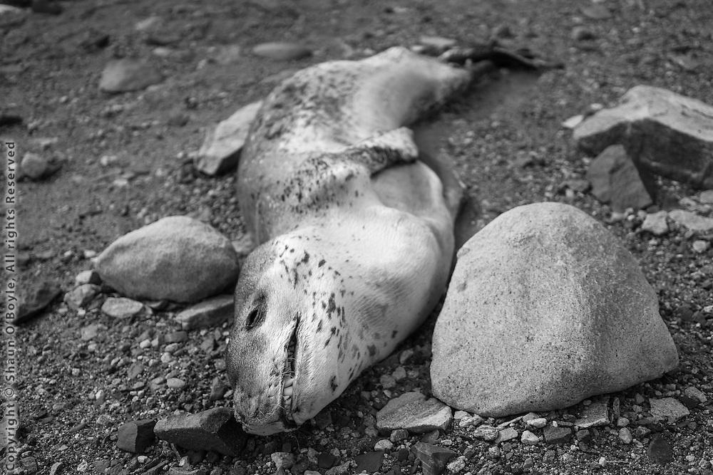 Leopard Seal carcass near Lake Fryxell station