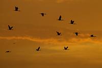 Scarlet Ibises (Eudocimus ruber) flying through the orange sky at sunset in Delta Amacuro, Venezuela.