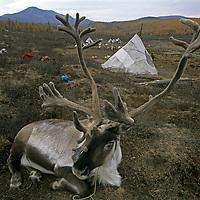 MONGOLIA, Reindeer relax outside tipi homes of nomadic Tsataan herders of northern Mongolia.