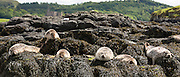 Common Seal or Harbour Seal, Phoca vitulina, colony of adults and seal pups juveniles basking on rocks and seaweed by Dunvegan Loch, Isle of Skye, Western Scotland