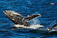 Wildlife - Humpback Whales