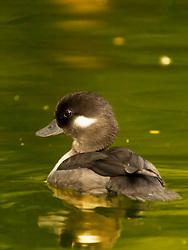 A Female Bufflehead Duck Swims In Green Waters