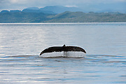 A Humpback whale, Megaptera novaeangliae, swims in the calm waters offshore Vancouver Island, British Columbia,  Canada