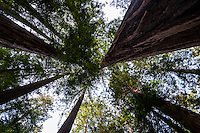 United States, California. Muir Woods National Monument is an an old-growth coastal redwood forest north of San Francisco.
