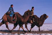 Bactrian camels (Camels bactrians) racing<br /> Gobi Desert<br /> Mongolia