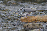 An Ibisbill in winter plumage, Ibidorhyncha struthersii, fishing in a river, Yangxian Nature Reserve, Shaanxi, China