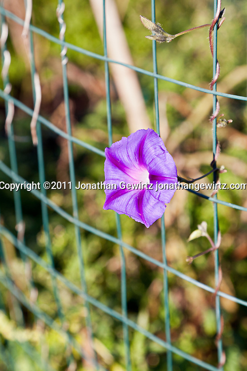 A violet morning glory flower in a community garden. WATERMARKS WILL NOT APPEAR ON PRINTS OR LICENSED IMAGES.