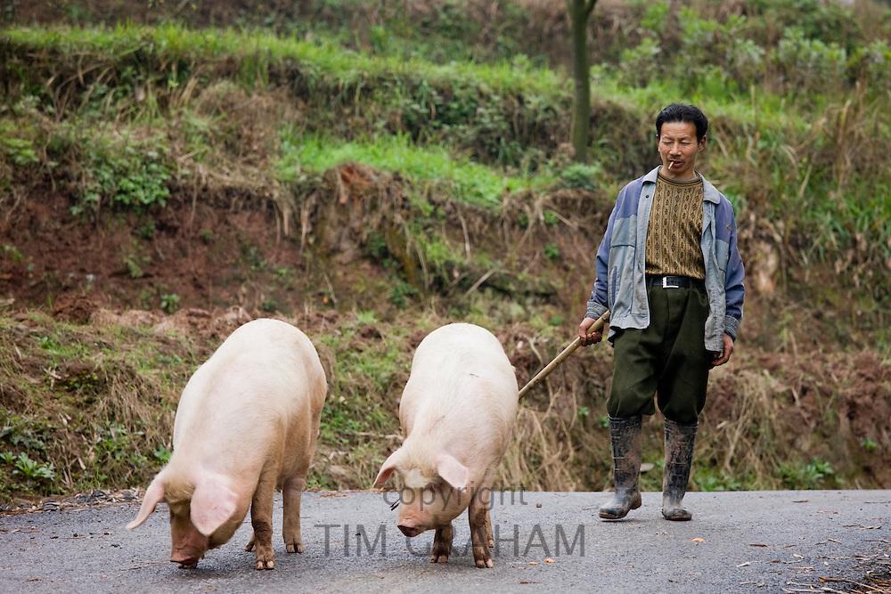 Farmer leads pigs to market near Chongqing, China