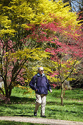 © Licensed to London News Pictures. 22/04/2015. Bristol, Avon, UK. A man walking past Japanese Maple trees, the through the National Maple Collection at Westonbirt, The National Arboretum today, 22nd April 2015. The south west of England is set for more warm temperatures and plenty of sunshine today. Photo credit : Rob Arnold/LNP