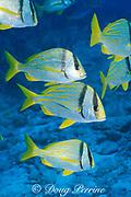 porkfish ( grunts ), <br /> Anisotremus virginicus, <br /> Walker's Cay, Bahamas (Atlantic)