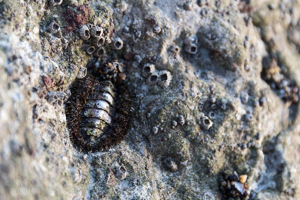 A Mossy Chiton (Mopalia muscosa) with barnacles on an outcrop at Leo Carrillo State Beach, Malibu, California